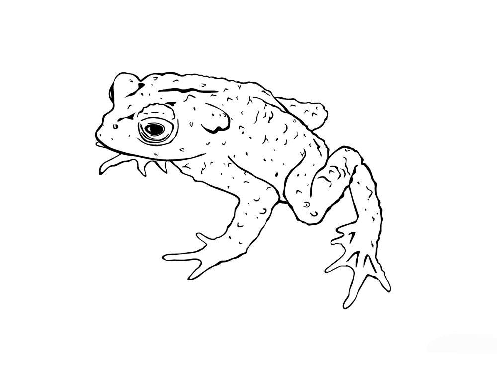 Realistic frog outline